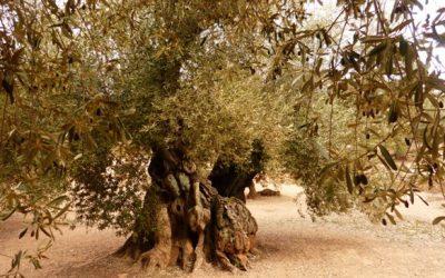 El olivo más antiguo de España